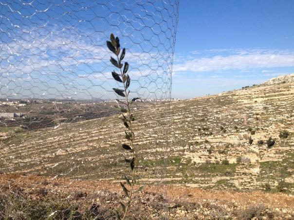 Plantando oliveras na Tent of Nations com a ATG